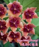 Hoya Lobbii Orange